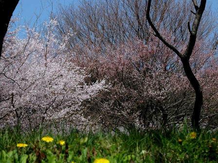 穴観音公園の桜(豊川市御津町)