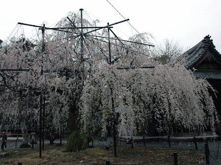 野依八幡社のしだれ桜
