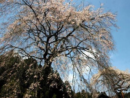 しだれ桜(豊田市猪熊町大洞28)