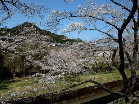 大野頭首工の並木桜