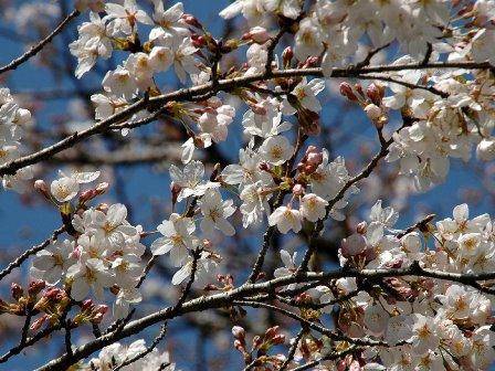 大野頭首工の並木桜3