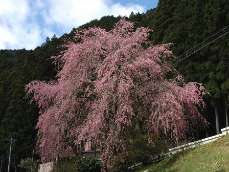 豊根のしだれ桜