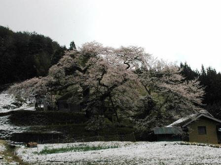 愛宕神社の江戸彼岸桜
