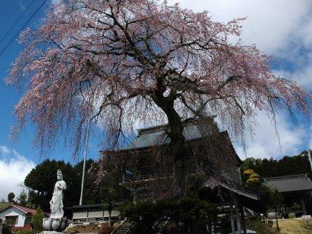 端光院の彼岸枝垂桜2