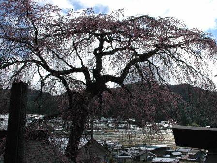 端光院の彼岸枝垂桜