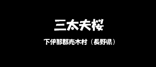 三太夫桜 下伊那郡売木村(長野県)