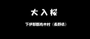 大入桜 下伊那郡売木村(長野県)