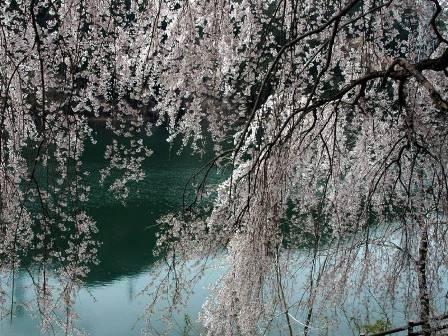 湖畔の桜 北設、豊根村みどり湖湖畔